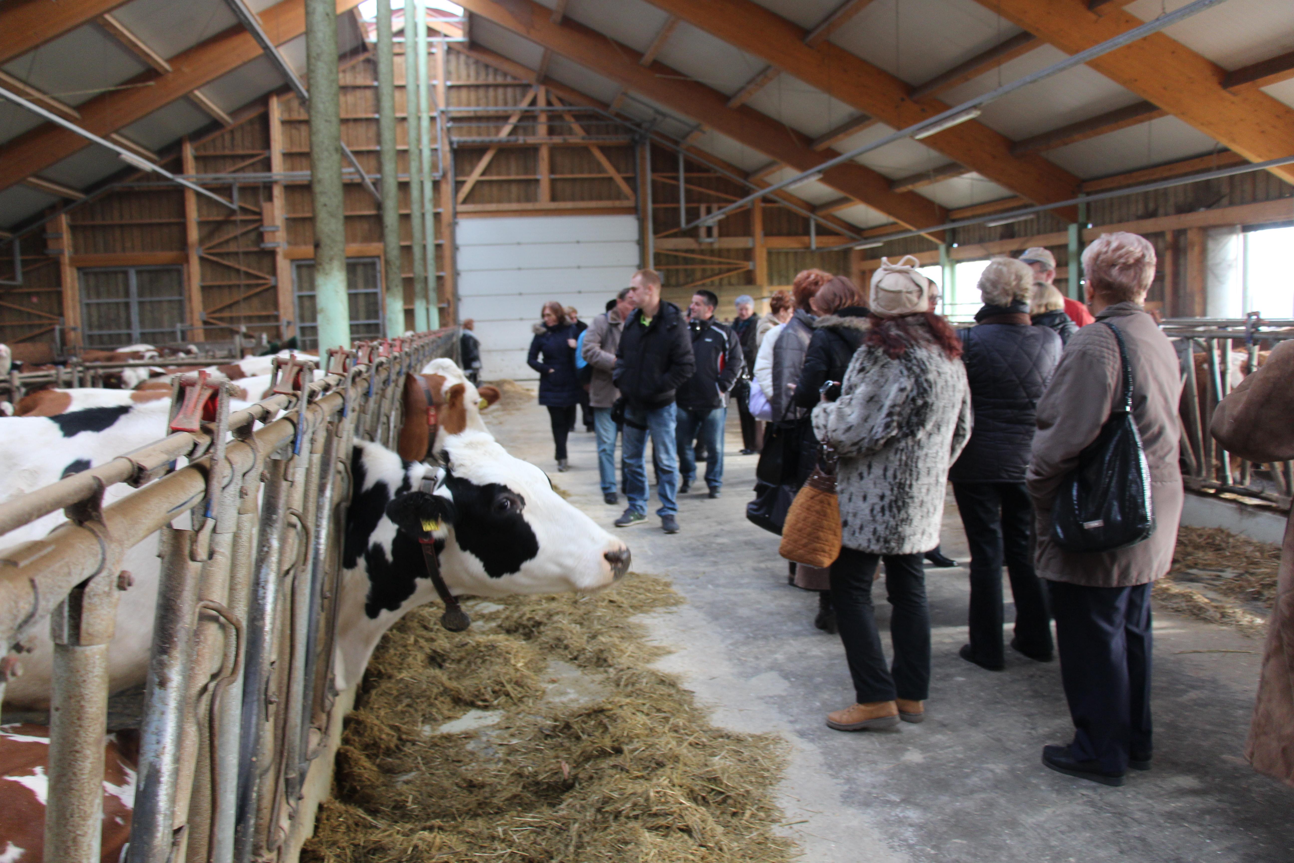 Poseta velikoj farmi krava u Pomurju